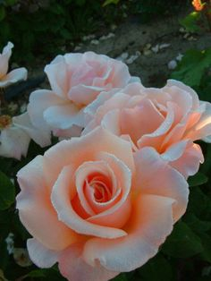 'Clodagh McGredy' | Hybrid Tea rose