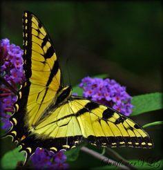 Eastern Tiger Swallowtail by ~sunflowervlg on deviantART