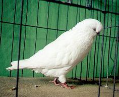 http://www.pigeonfanciers.ca/random/lrg-pics/pigeon17.jpg