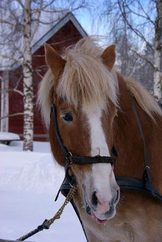 Finnish horse in winter Pretty Horses, Horse Love, Beautiful Creatures, Animals Beautiful, Farm Animals, Cute Animals, Fjord Horse, Draft Horses, Horse Pictures