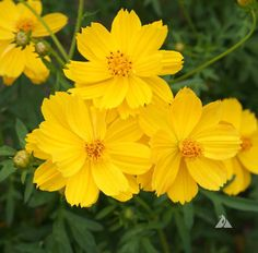 Cosmos Flowers Seeds, Dwarf Gold - attract birds and make good cut flowers.