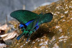 The Sublime Swallowtail Butterfly ~ The Ark In Space  The Chinese Peacock