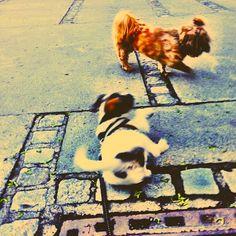 heididahlsveen:  #atsjoo is trying his best to impress Shanti the #shihtzu #puppy #valp #dog #hund