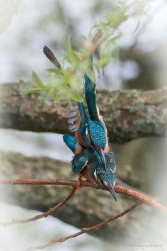 Ijsvogels,  foto Hans Richter