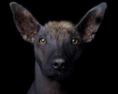 Xoloitzcuintli-these dogs need to wear sunscreen and also are prone to acne! I have always wanted to meet one of these dogs. Pet Dogs, Dogs And Puppies, Dog Cat, Doggies, Hairless Animals, Mexican Hairless Dog, Chinese Crested Dog, Wild Dogs, Wild Life