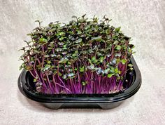 In testing done by the USDA Agricultural Research Service , the first comprehensive study on the nutrition contained in microgreens. It was found that red cabbage contained the highest levels of Vit...