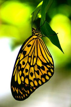 Black & Yellow Butterfly