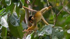 Carlos Torres, Capped squirrel monkey, taken at Inkaterra Hacienda Concepcion