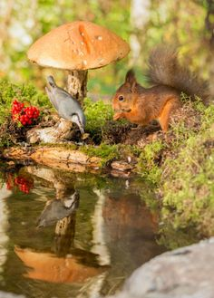 red squirrel standing under mushroom and nuthatch on it reflected in water List Of Animals, Animals And Pets, Baby Animals, Cute Animals, Animal List, Beautiful Birds, Animals Beautiful, Cute Squirrel, Squirrels