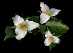 trillium, Vancouver Is, B.C. Canada  by Heather Wade