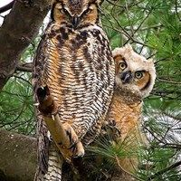 beautiful owls