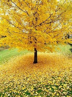 Allan Mandell gingko tree in the fall. have to check out the pros and cons of this tree. Pretty fall color Allan Mandell gingko tree in the fall. have to check out the pros and cons of this tree. Autumn Trees, Autumn Leaves, Autumn Fall, Beautiful World, Beautiful Places, Seasons Of The Year, Flowering Trees, Belle Photo, Photos