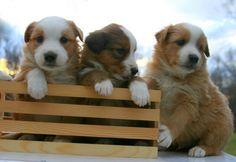 English Shepherd pups.