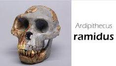 Cráneo de un Ardipithecus ramidus