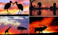 A striking series of photos has captured animals across the planet, silhouetted against the backdrop of spectacular pink sunrises and golden sunsets, over Australia, the Netherlands and the US.