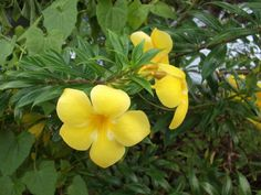 More Flowers.  Found in Samoa.