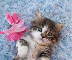 Cute Munchkin kittens