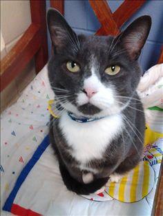Adoptable Cat: Piohpi - Domestic Short Hair Cat (Stratham, NH) #cat #adoption #rescue #animals #pets
