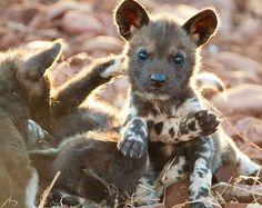 Cachorro de perro salvaje africano