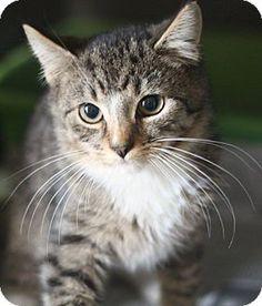 Verona, NJ - Domestic Shorthair. Meet Gaspar (Kings), a kitten for adoption. http://www.adoptapet.com/pet/14535023-verona-new-jersey-kitten