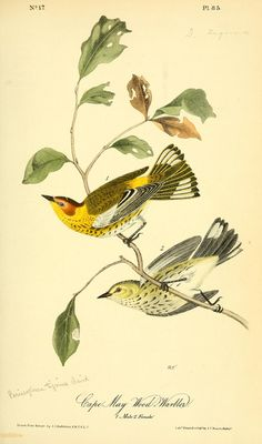 Cape May Wood-Warbler, The birds of America : - Biodiversity Heritage Library Vintage Bird Illustration, Botanical Illustration, Botanical Prints, Nature Prints, Bird Prints, Audubon Birds, Birds Of America, John James Audubon, Bird Pictures