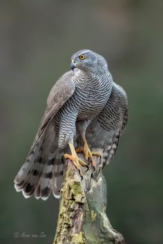 Birds ©: Northern Goshawk (Accipiter gentilis) on a post. A widespread species, it inhabits many of the temperate regions of the Northern Hemisphere. Colour varies by location. (Arno van Zon on Love Birds, Beautiful Birds, Animals Beautiful, Northern Goshawk, Tier Fotos, Bird Drawings, Big Bird, Birds Of Prey, Colorful Birds