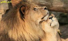 #lion love