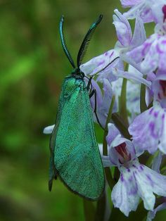 Green Forester Moth