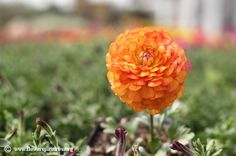Picture of Orange persian buttercup, More flower pictures on this website! Persian Buttercup, Flower Pictures, Colorful Flowers, Bouquet, Orange, Bridal, Fruit, Plants, Pink