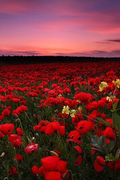 Field of poppy flowers & pink & purple sky art