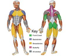 muscle groups used swimming