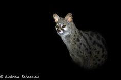 """""""Genet"""" A Genet in Phinda Game Reserve sitting watching us on a recent photographic safari, I don't have many images of Genets and this guy was very accommodating — at Africa Photographic Travel."""
