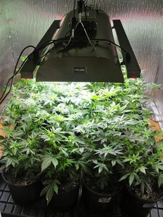 The Newest in Lighting Technology - One of Our Hydroponic Experts Gets To Try The Inda-Grow Induction/LED Grow Light -- How Will it Affect His Yield? Find Out!