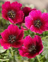 Harmaakurjenpolvi Jolly Jewel Purple