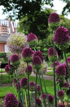 Allium - Chelsea Physic Garden by Mark Wordy on Flickr