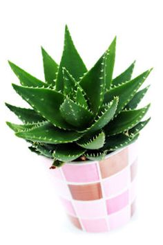 Grow Aloe Indoors As A Houseplant. This site has lots of great info about growing aloe and taking care of it!