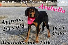 Black & Tan Coonhound F 2 years 50 lbs. named Arabella in Wytheville, VA @ Wythe County Animal Shelter