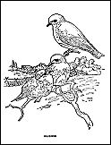 Free printable coloring book of birds.  LOTS of different species