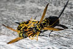 Wasps fighting [1979x1320] [OC] - http://ift.tt/1Sbac6N