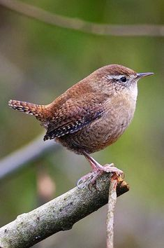 The tiny wren, with its typically cocked tail, is a welcome and common visitor to gardens across town and countryside. It builds its domed nests in sheltered bushes and rock crevices.  Info: The Wildlife Trusts Tiny Bird, Small Birds, Wind And Rain, Unique Wedding Venues, White Eyes, Body Heat, Wild Birds, Wren