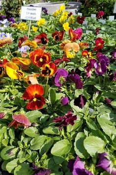 How to Grow Pansies and Violas for Multi-Season Color Autumn Garden, Spring Garden, Pretty Flowers, Colorful Flowers, Winter Pansies, Spring Time, Early Spring, Garden News, Season Colors
