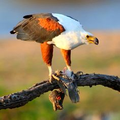 Fish eagle feeding on catch in the Kruger National Park Kruger National Park, National Parks, Cool Pictures, Cool Photos, Birds Of Paradise Plant, Cat Activity, Male Lion, Plant Painting, Most Beautiful Animals