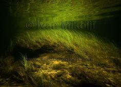 discus habitat aquarium background Aqua Aquarium, Biotope Aquarium, Fish Artwork, Aquarium Backgrounds, Discus, Black Water, Guppy, Freshwater Aquarium, Habitats