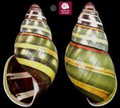 Amphidromus poecilochrous lembataensis (Dharma,2007) - land snail