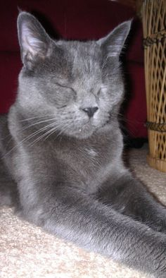 Russian Blue Henry #Cats #Cute #RussianBlue