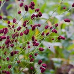 Sanguisorba (Burnet)