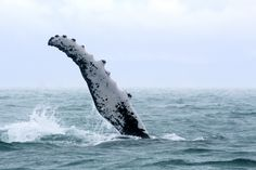 Another extraordinary encounter in Golfo Dulce, Costa Rica: a female humpback whale displaying the longest pectoral fin in nature! Be part of the dream at Golfo Dulce Retreat www.gdretreat.com