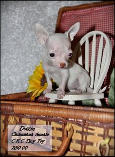 Ckc Registered Chihuahua Puppies