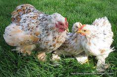 beautiful backyard chickens