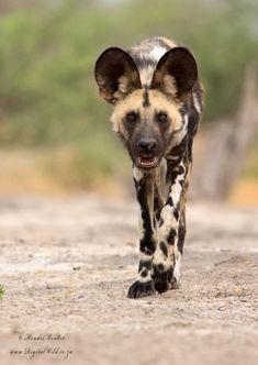 Endangered African Wild Dog by Hendri Venter.